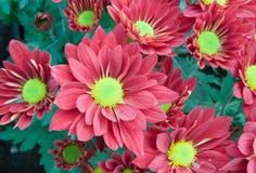 chrysanthemumen blommar red Royaltyfri Foto