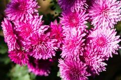 chrysanthemumen blommar red Royaltyfria Bilder