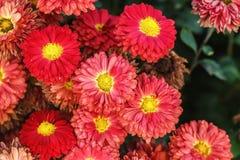 chrysanthemumen blommar red Arkivbild