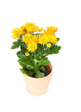 chrysanthemumen blommar yellow Royaltyfria Bilder