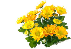 chrysanthemumen blommar yellow Royaltyfri Foto