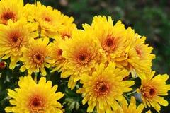 chrysanthemumen blommar yellow Arkivfoton