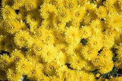 chrysanthemumen blommar yellow härlig blomma för bakgrund Höst Time arkivfoton
