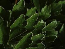 Chrysanthemumen lämnar Fotografering för Bildbyråer