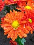 chrysanthemumen tappar regn Arkivfoton