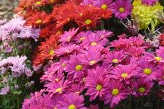 chrysanthemumfält Arkivbild