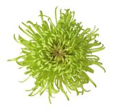 chrysanthemumgreen Arkivbild