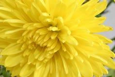 chrysanthemummakroyellow arkivbilder