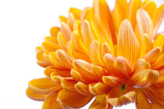chrysanthemumorange Arkivbilder