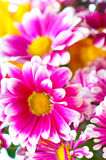 chrysanthemumpink arkivfoton