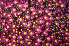 chrysanthemumpurple Royaltyfria Foton