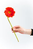 chrysanthemumred till dig Royaltyfria Bilder