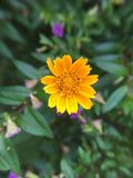 chrysanthemums royaltyfri bild