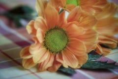 chrysanthemums imagem de stock