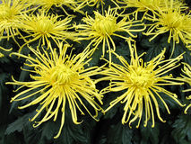 Chrysanthemums Photos libres de droits
