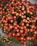 chrysanthemums Imagens de Stock