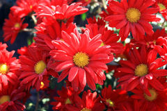 Chrysanthemums. Beauty bouquet from red chrysanthemums Stock Photography