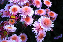 Chrysanthemums. Beauty bouquet from pink chrysanthemums Stock Images