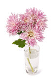 Chrysanthemums stock image