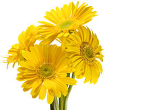 Chrysanthemums Stock Photography