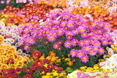Chrysanthemums Royalty Free Stock Photo