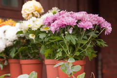 Chrysanthemums Royalty Free Stock Photography