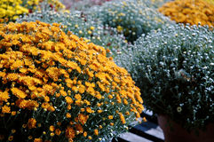 chrysanthemums Royaltyfria Foton