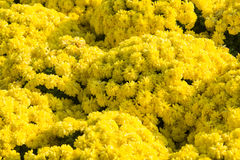 Chrysanthemums Images libres de droits