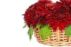 Chrysanthemums. Stock Photo