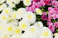 Chrysanthemums Royalty Free Stock Image