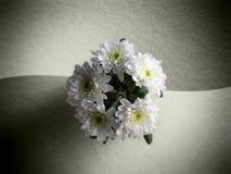 chrysanthemums Στοκ φωτογραφίες με δικαίωμα ελεύθερης χρήσης