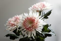 Chrysanthemums. Royalty Free Stock Images