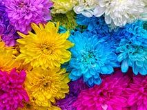 chrysanthemums Fotografering för Bildbyråer