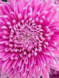 chrysanthemums Imagens de Stock Royalty Free
