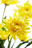 Chrysanthemums. Yellow chrysanthemums over a white background Royalty Free Stock Photography