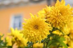 chrysanthemums Foto de Stock Royalty Free