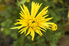 chrysanthemums Fotografia de Stock Royalty Free