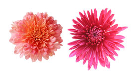 Chrysanthemums Stock Photos