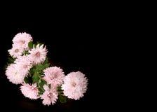 Chrysanthemums Photos stock