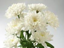 Chrysanthemums Royalty Free Stock Photos