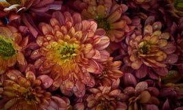 chrysanthemums Arkivbilder