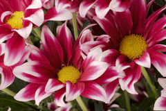 Chrysanthemums. Bouquet from is red-and-white chrysanthemums Royalty Free Stock Photos