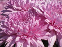 chrysanthemums stock illustrationer