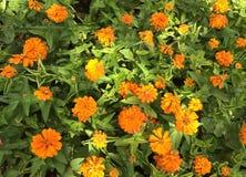 chrysanthemums Arkivfoton