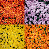 Chrysanthemums abstract pattern Royalty Free Stock Photos