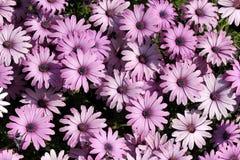 chrysanthemums arbeta i trädgården lampa - purple Arkivfoto