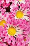 Chrysanthemums as background Stock Photo
