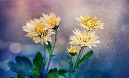 Chrysanthemums in autumn Royalty Free Stock Photo