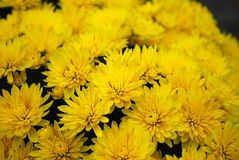 Chrysanthemums. Autumn bouquet of shallow yellow chrysanthemums Stock Photos