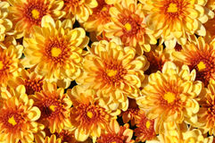 Chrysanthemums, autumn floral background Stock Images